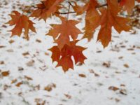 Maple leaves in the snow